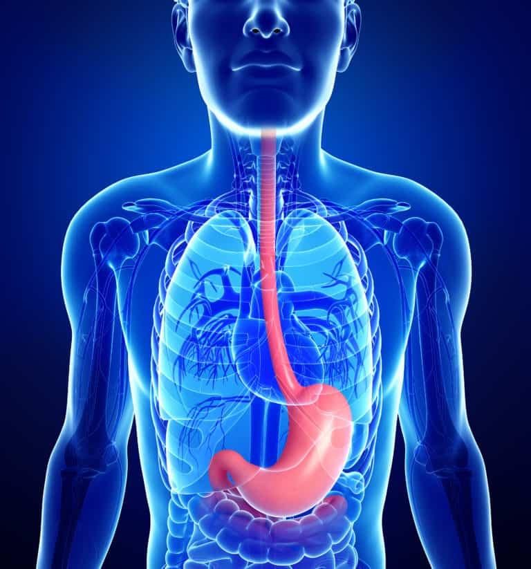Speiseröhre und Magen - anatomische Lage im menschlichen Körper