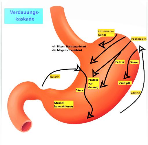 Magen, Aufbau,Funktion, Verdauungskaskade: Abläufe bei Erreichen eines Nahrungsbrockens im Magen