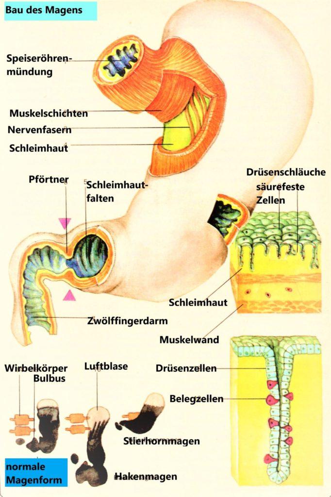 Aufbau des Magens