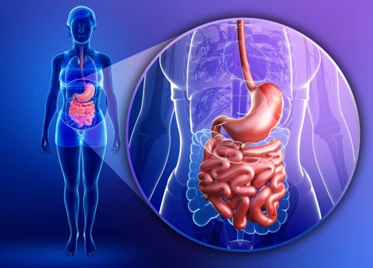 Dünndarm,Darm, Aufbau und Funktion, Lage im Kontext des Körpers