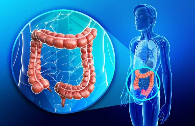 Dickdarm, Darm, Aufbau und Funktion, Lage im Kontext des Körpers