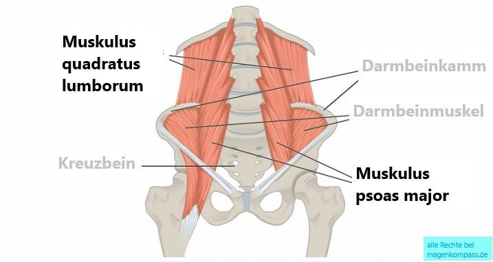 Muskulus quadratus lumborum und psoas major und minor