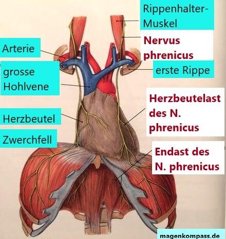 Nervus phrenicus, Nerven und Reflux