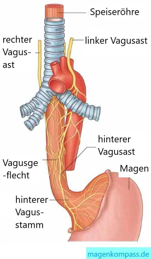 Vagusnerv - Verlauf, Nerven und Reflux